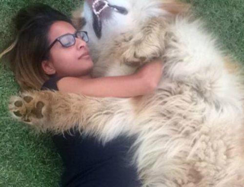 Aljaski malamut MISLI DA JE ŠTENE! (VIDEO)