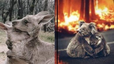 Photo of DA VAM SRCE PUKNE: Više od MILIJARDU ŽIVOTINJA JE STRADALO u požarima u Australiji! Da, dobro ste pročitali