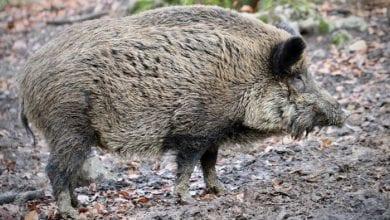 Photo of POJAVILA SE AFRIČKA SVINJSKA KUGA I U SRBIJI: Divlje svinje je donele iz Bugarske u Pirotski okrug