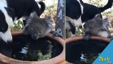 Photo of PAS Rusti i KOALA Quasi DELE VODU dok požari dalje besne Australijom (VIDEO)