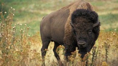 Photo of ŽIVOTINJSKO CARSTVO: Američki bizon