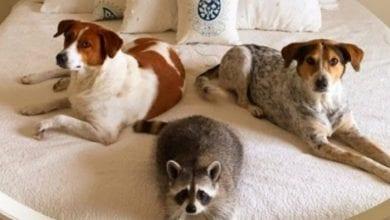 Photo of DVA PSA I RAKUN: Neobični i nerazdvojni prijatelji! (VIDEO)