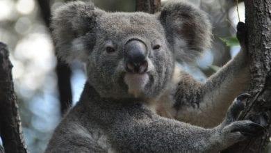 Photo of Prema novim izveštajima, u australijskim požarima je STRADALO VIŠE OD 5.000 KOALA! Zato će se ubrzo naći na listi UGROŽENIH ŽIVOTINJSKIH VRSTA