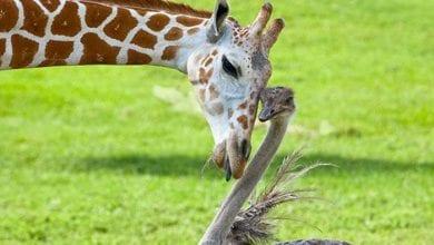 Photo of JEDINSTVEN PAR: Bea žirafa i Vilma noj (VIDEO)