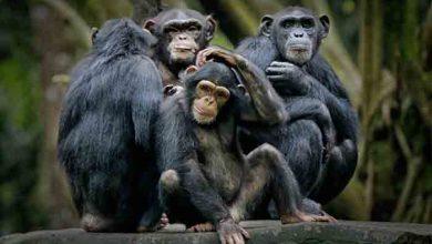 Photo of PONAŠANJE ŽIVOTINJA PREMA BOLESNIM ČLANOVIMA GRUPE: Ove vrste praktikuju socijalno distanciranje kako se ne bi zarazile
