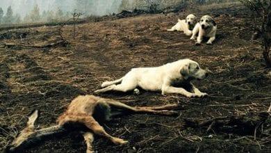 Photo of BRANILI SU POSMRTNE OSTATKE: Nakon požara u Ajdahu, psi su ŠTITILI TELO JELENA od predatora!