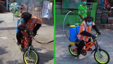 Photo of IŽIVLJAVANJE NA TAJLANDU: Šimpanza je primorana da obučena u šorcu i košulji NOSI MASKU I DEZINFEKCIONO SREDSTVO NA LEĐIMA, dok vozi bicikl! (VIDEO)