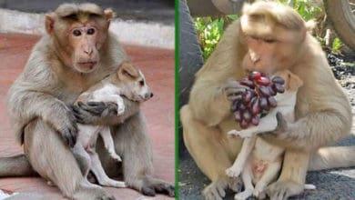 Photo of NEOBIČNO I DIRLJIVO: Makaka majmun je usvojio napušteno štene