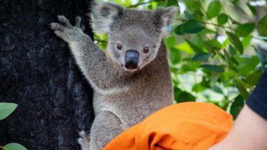 Photo of LEPE VESTI: 26 koala, POVREĐENIH u australijskim požarima, NAKON IZLEČENJA PUŠTENE nazad u divljinu
