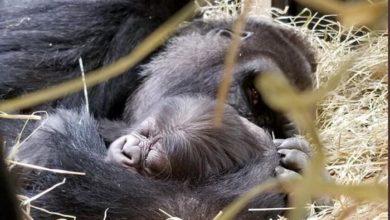 Photo of Upoznajte Džamani: NOVA BEBA GORILA u zoo vrtu Kolumbus