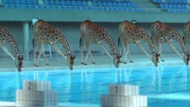 Photo of NEVEROVATNA ANIMACIJA: Kad niko nije gledao, ŽIRAFE su došle do bazena i započele trikove i ronjenje (VIDEO)