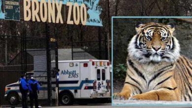 Photo of SVI SE OSEĆAJU DOBRO: Osam tigrova u zoo vrtu u Bronksu je POZITIVNO NA KORONA VIRUS