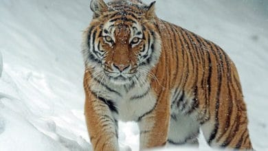 Photo of ŽIVOTINJSKO CARSTVO: Sibirski tigar