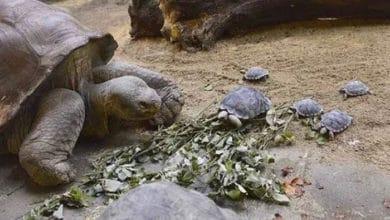 Photo of Bebe kornjače se PRVI PUT U 100 GODINA pojavile u PRIRODNOJ SREDINI na ostrvima Galapagos!