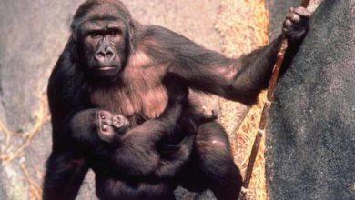 Photo of NEVEROVATNO: Mama gorila sa bebom u naručju SPASILA TROGODIŠNJEG DEČAKA koji je upao u ograđen prostor u Brukfild zoo vrtu