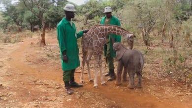 Photo of SVUDA IDU ZAJEDNO: Beba žirafa nađena kako LUTA SAMA, sprijateljila se sa bebama slonovima (VIDEO)