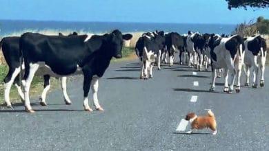 Photo of Maleni pas je IMPRESIVNO PREUZEO KONTROLU nad ogromnim stadom krava (VIDEO)