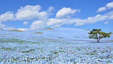 Photo of ČAROBNI PRIZOR: Preko 5 miliona sitnih plavih cvetova procvetalo je u jednom japanskom parku