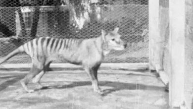 Photo of OBJAVLJEN POSLEDNJI SNIMAK TASMANIJSKOG TIGRA iz 1935.godine, koji je kasnije proglašen izumrlom vrstom (VIDEO)