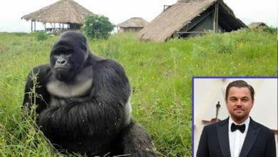 Photo of LEONARDO DIKAPRIO OPET DONIRA SREDSTVA: Veliki ljubitelj životinja i prirode pomaže REZERVATU PLANINSKIH GORILA U KONGU, nakon ubistva 12 rendžera
