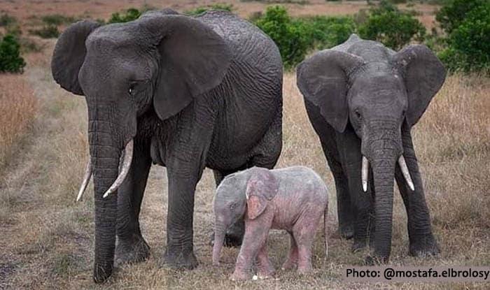 Photo of Retki ALBINO SLONIĆ primećen u Nacionalnom parku Kruger u Južnoj Africi (VIDEO)