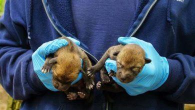 Photo of Zoo vrt u Severnoj Karolini ove godine DOČEKAO DRUGO LEGLO IZUZETNO RETKIH CRVENIH VUKOVA!