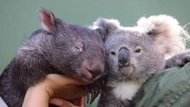 Photo of KOALA I VOMBAT u australijskom zoo vrtu, postali NAJBOLJI PRIJATELJI