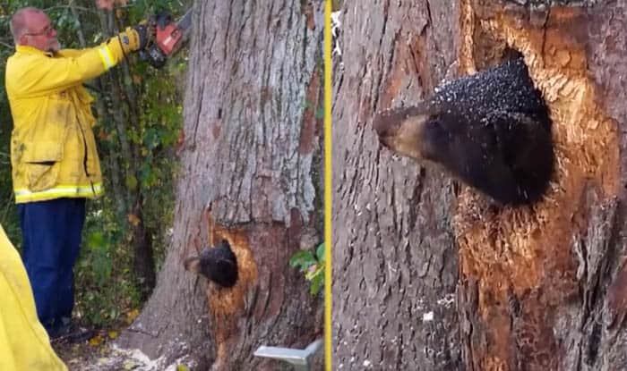 Photo of Žena je čula ZVUK PLAČA iz obližnje šume, pa je otišla da proveri o čemu se radi i našla MEDVEDIĆA zaglavljenog u drvetu!