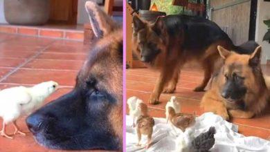 Photo of KAKVA PREDIVNOĆA: Dva NEMAČKA OVČARA su usvojila PILIĆE koji su ostali bez roditelja (VIDEO)