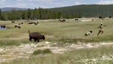"""Photo of """"SAMO LEZI I PRAVI SE MRTVA"""": Devojku napao razjareni bizon, ali je uspela da ga prevari kao na filmu! (VIDEO)"""