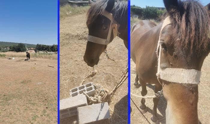 Photo of DALMACIJA: Kobila koja je provodila dane na SUNCU I ŽEGI, na sred poljane vezana za blokove – SPASENA JE