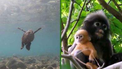 Photo of Bebe kornjače NASTANILE NAJPOPULARNIJE turističke tajlandske plaže, a jarko narandžasti majmuni UŽIVAJU U PARKOVIMA