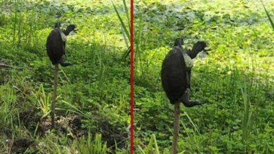 Photo of UŽAS U LONJSKOM POLJU: Zaštićene vrste barske kornjače NABIJENE NA KOLAC