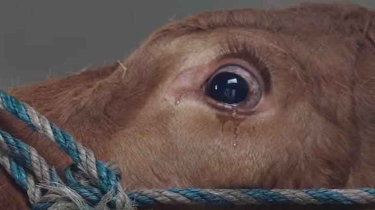 Photo of Da li ste ikada videli KRAVU KAKO PLAČE? (VIDEO)