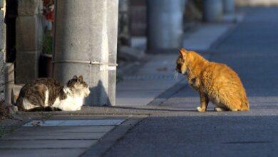 Photo of PETICIJA PROTIV BRUTALNOG MASOVNOG ZLOČINA: Australijska vlada planira da OTRUJE I UBIJE milione napuštenih mačaka!