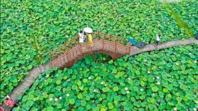 Photo of SLIKA DANA: Poljana lotusa u Kini