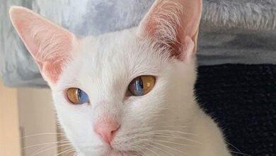 Photo of Upoznajte Oliv, mačku sa prelepim DVOBOJNIM OČIMA