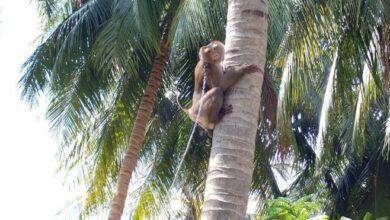 Photo of KORISTE IH KAO MAŠINE ZA BRANJE: Supermarketi povlače od kokosovog oraha koje su UBRALI MAJMUNI