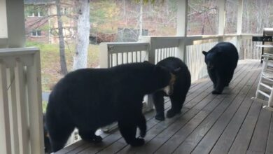 Photo of NESTVARNO: Medvedica i njeni mladunci GODINAMA POSEĆUJU jednu kuću u Severnoj Karolini (VIDEO)