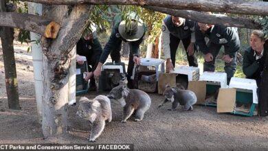 Photo of Dirljiv trenutak kada se PET KOALA I NJIHOV NOVI ČLAN porodice vraćaju kući NAKON POŽARA u Australiji (VIDEO)