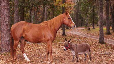 Photo of GINISOVI REKORDERI: Najmanji magarac na svetu