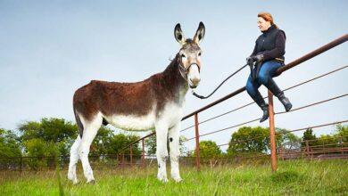 Photo of GINISOVI REKORDERI: Najviši magarac na svetu