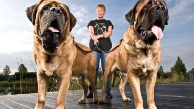 Photo of GINISOVI REKORDERI: Najteže rase pasa na svetu