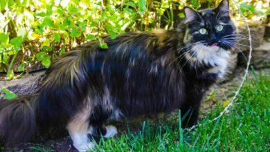 Photo of GINISOVI REKORDI: Mačka sa najdužom dlakom na svetu