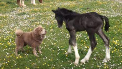 Photo of UPOZNAVANJE: Šar pej i ždrebe prvi put ugledali jedno drugo (VIDEO)