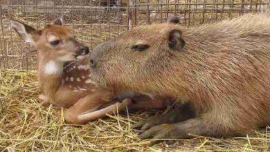 Photo of Kapibara OBOŽAVA SVE ŽIVOTINJE u prihvatilištu (VIDEO)