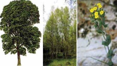 Photo of ZAŠTIĆENE VRSTE BILJAKA U SRBIJI: Pančićev maklen, maljava breza i salančić