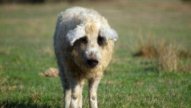 Photo of UPOZNAJTE AGNUS: Priča o krznenoj svinji koja liči na ovcu