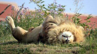 Photo of Velika mačka se OPUŠTA NA LETNJEM SUNCU u parku divljih životinja u Donkasteru