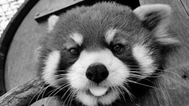 Photo of VELIKI GUBITAK: Osoblje Zoo vrta u Memfisu TUGUJE ZA CRVENOM PANDOM